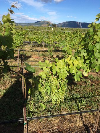 Hood River, OR: Marchesi vines