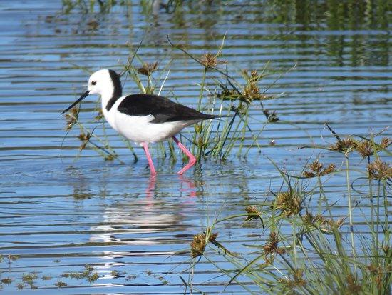 Rathdowney, Australia: Black winged stilt. Ronda knew where to find the birds!