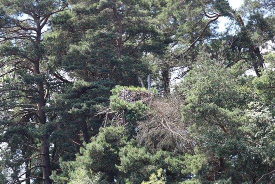 Balloch, UK : The Osprey nest