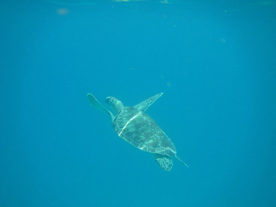 Road Town, Tortola: Sea turtles!