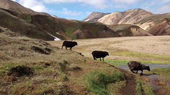 Landmannalaugar sheep traffic