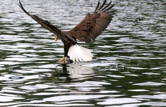 Port Hardy, Kanada: A bald eagle