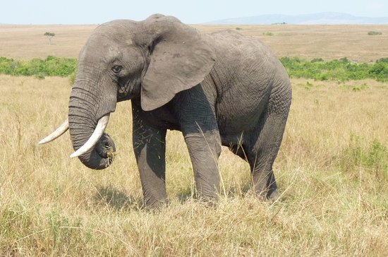 F. King Tours and Safaris - Day Tours: This elephant we could hear eating we came so close