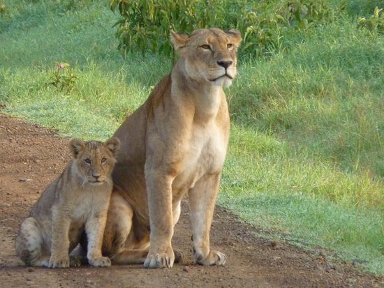 F. King Tours and Safaris - Day Tours: We came across this lioness with her cubs early one morning - just us and them!