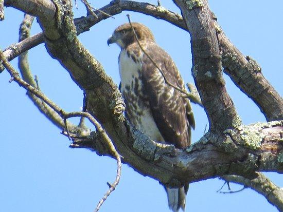 Morristown, NJ: Hawk in Loantaka Brook Reservation