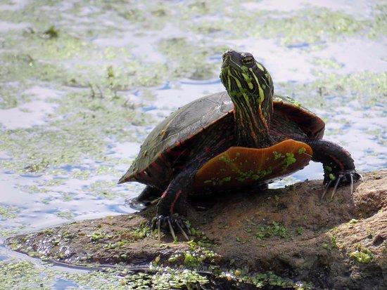 Morristown, NJ: Pond Turtle
