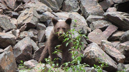 Parque Nacional Cañón Negro del Gunnison, CO: Black bear along the hillside