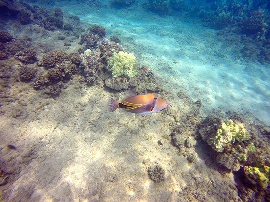 Каанапали, Гавайи: Wedgetail Triggerfish Humuhumunukuapuaa