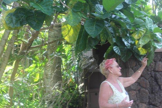Kilauea, ฮาวาย: Our guide explaining the noni tree