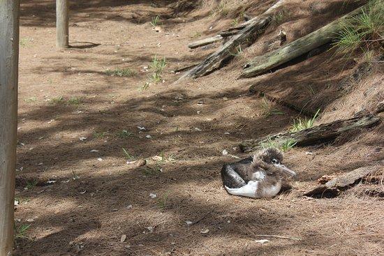 Kilauea, Χαβάη: Baby albatross - squee! :)