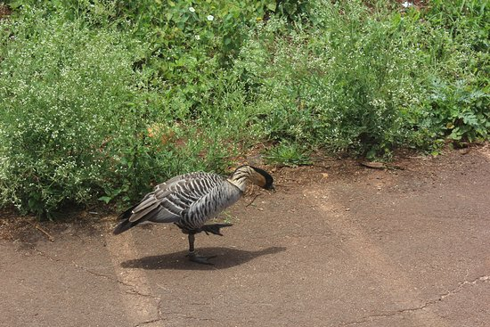 Kilauea, HI: The nene is a pretty bird!