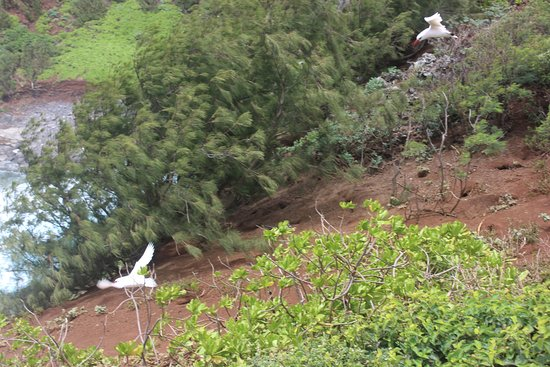 Kilauea, HI: Birds in flight