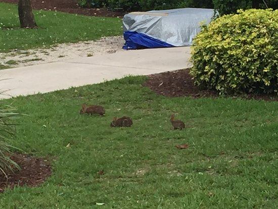 Port Saint Lucie, FL: Bunnies at Club Med