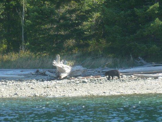 Aboriginal Journeys Wildlife and Adventure Tours: Black Bear