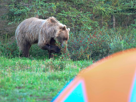 bear eating soap berries next to a tent picture of teklanika