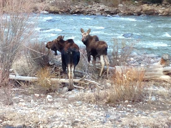 Bozeman, MT : Moose on the Gallatin River