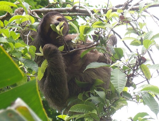 La Loma Jungle Lodge and Chocolate Farm: sloth and baby on the walk up to cabin