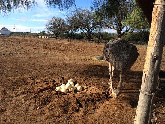 Gumtree Guest House: Bezoek struisvogelboerderij.