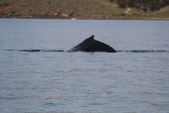 Penneshaw, Australie : We watched this whale for ages. It was absolutely mesmerising