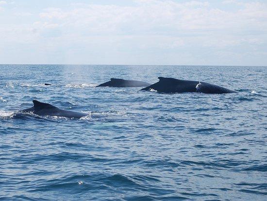 "SeaSalt Charters : Humpback whales: mom, calf, and ""escort."""