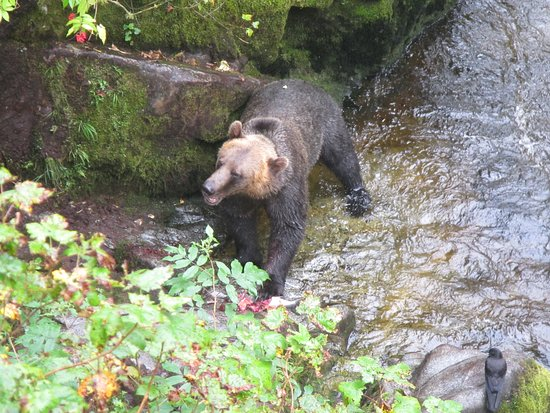 Wrangell, Αλάσκα: This brown bear kept us entertained for hours.
