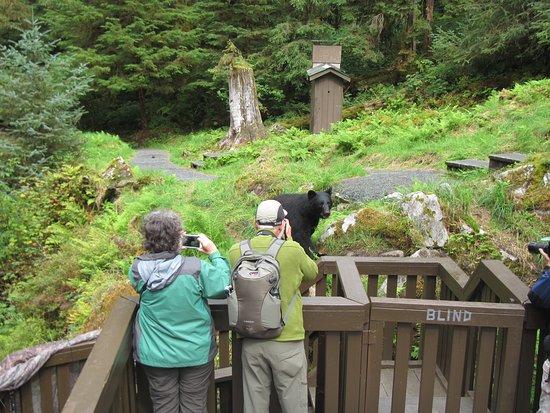 Wrangell, Αλάσκα: A Black bear walking by the observation platform.