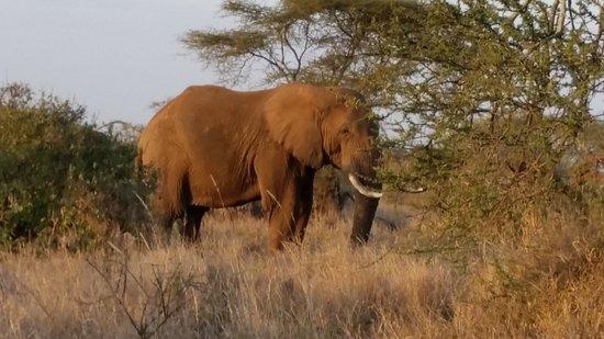 Satao Elerai: Elephants near the hotel!
