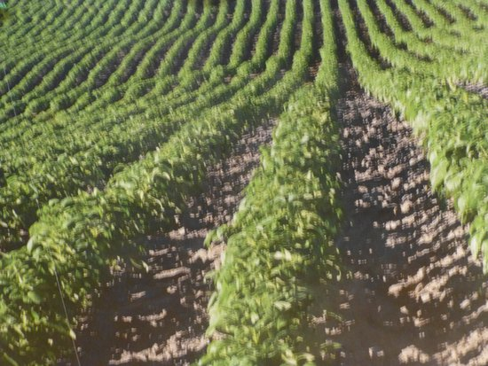 Blackfoot, ID: The potatoes we know are grown under the ground.