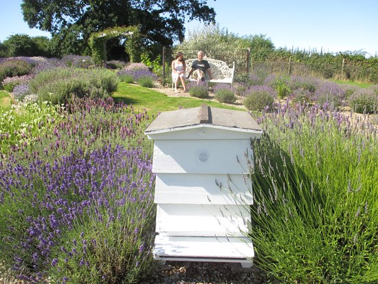Outstanding Lavender Garden  Picture Of Isle Of Wight Lavender Isle Of Wight  With Exquisite Isle Of Wight Lavender Lavender Garden With Archaic Smart Teachers Covent Garden Also Garden Shepherd Hooks In Addition Vermiculite Gardening And Lee Garden Road As Well As Garden Matting Additionally Jj Gardening From Tripadvisorcouk With   Exquisite Lavender Garden  Picture Of Isle Of Wight Lavender Isle Of Wight  With Archaic Isle Of Wight Lavender Lavender Garden And Outstanding Smart Teachers Covent Garden Also Garden Shepherd Hooks In Addition Vermiculite Gardening From Tripadvisorcouk