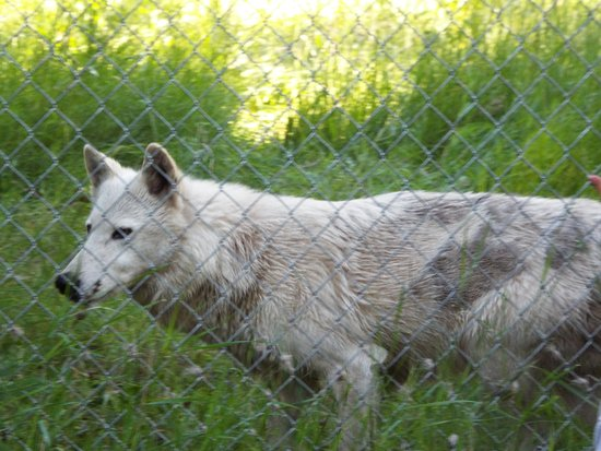 Winchester, Айдахо: One of two female wolves at the Wolf Education and Research Center.