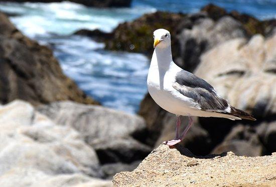 Asilomar State Beach: friendly gull