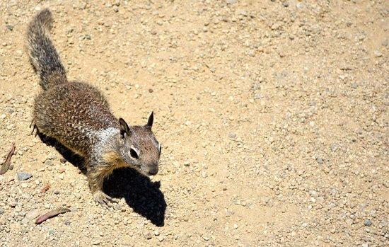 Asilomar State Beach: friendlier squirrel
