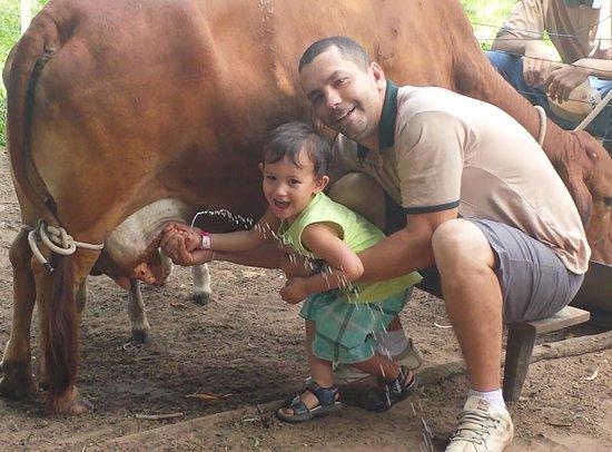 Fazendinha Caminho da Roca: Ordenhando a vaca