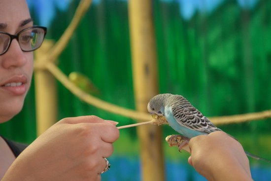 Gloversville, NY: Feeding parakeets in the aviary