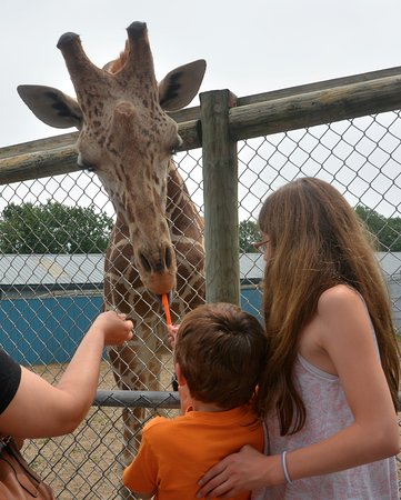 Gloversville, นิวยอร์ก: Feeding a giraffe.
