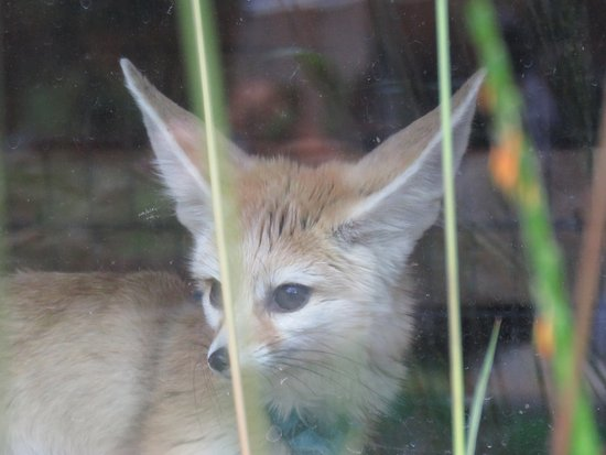 Eureka, MO: Endangered Fennec Fox posed briefly in the window