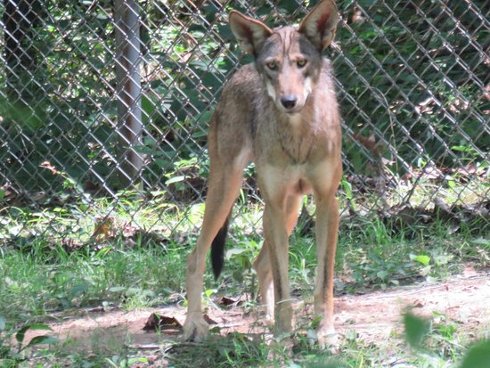 Eureka, MO: This Red Wolf seemed as curious about us as we were about her or him.