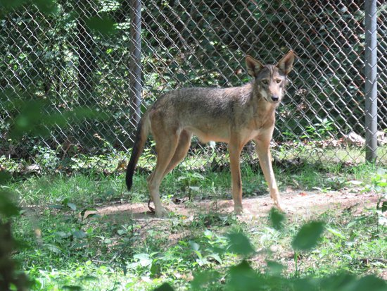 Eureka, MO: With only 45 in the wild, these beautiful Red Wolves need all the help they can get!