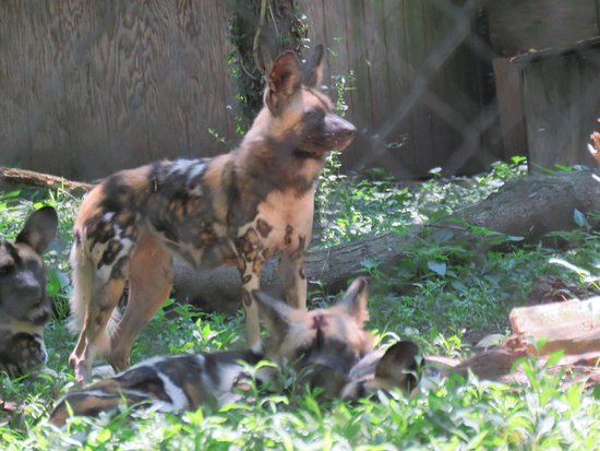 Eureka, MO: These African Painted Dogs were a big hit with my grandkids!