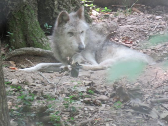 "Eureka, MO: ""Rocky,"" an elderly Mexican gray wolf, resting in the shade."