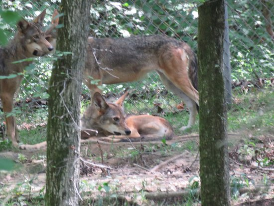 Eureka, MO: Three elusive Red Wolves checking out the human visitors from the back of their enclosure.