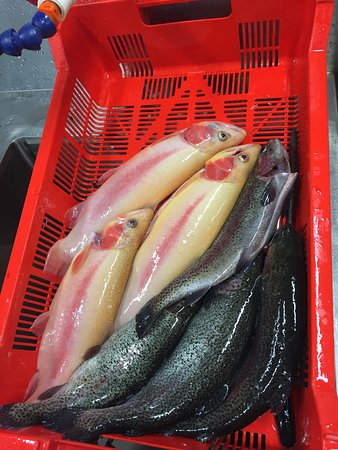 Noojee, Australia: Mix of golden and rainbow trout