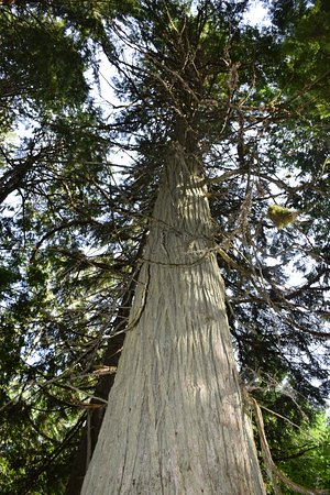 Giant Cedars Boardwalk Trail: towering trees