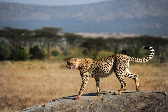 Safaris-R-Us - Day Tours: cheetah after a kill
