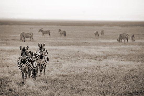 Safaris-R-Us - Day Tours: zebra crossing