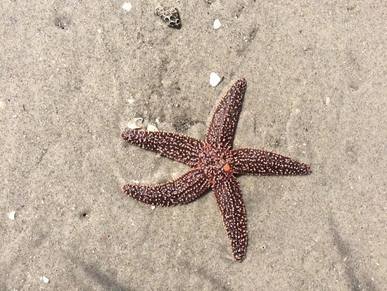 Folly Beach, SC: Starfish on Morris Island beach