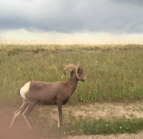 Loop Road: A small group of Bighorn Sheep grazed right beside our car on Sage Creek Rim Road