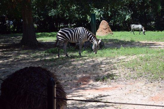 Hattiesburg Zoo: Zebras