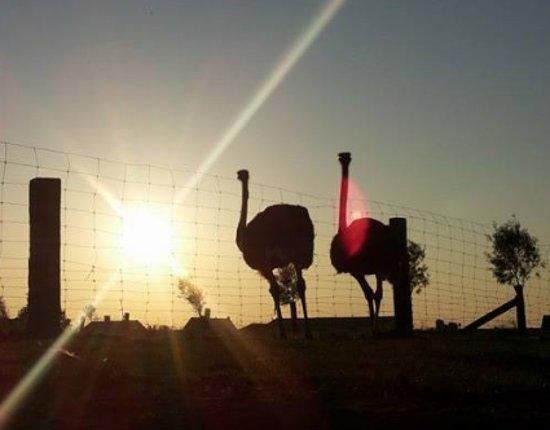 Tielt, Belgia: Sfeerfoto Struisvogelboerderij Schobbejaks Hoogte