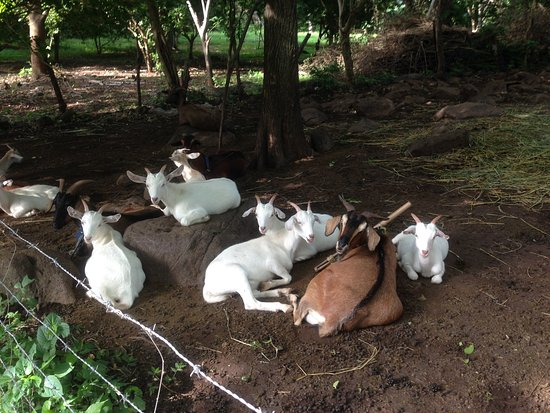 Santa Cruz, Nicaragua: There are many goats on the Farm